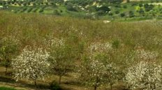 Blossoming almond trees in Israel