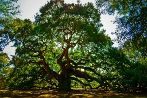 Angel_Oak_Tree
