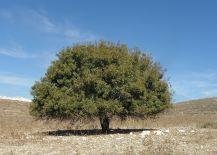 terebinth tree