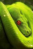green snake red eye