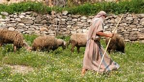 shepherd with three sheep