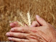 Wheat near Mount Nemrut, Eastern Turkey